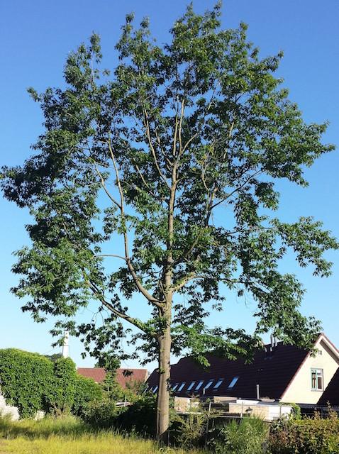 Bomen Effect Analyse (BEA) Julianaziekenhuis Apeldoorn WBG Advies