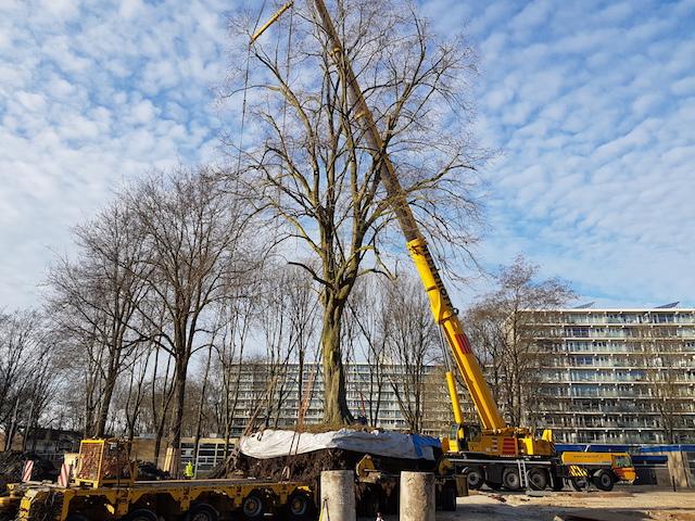 Boomverplanting van een linde in Uithoorn WBG Advies